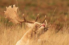Funny face deer Royalty Free Stock Photos