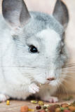 Funny face domestic chinchilla eating seeds Stock Photo
