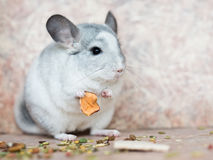 Funny face domestic chinchilla holding food with arms Stock Photography