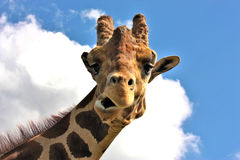 Funny Face Giraffe. The head and neck of a giraffe, making a funny face, as he looks down at the camera, with blue sky and fluffy white clouds in the background Royalty Free Stock Photography