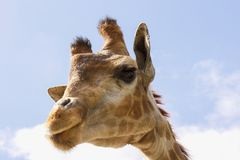 Funny face giraffe with long eyelashes and a narrow neck. On a blue background stock photo