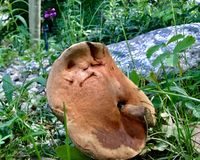 Funny face mushroom Royalty Free Stock Photo