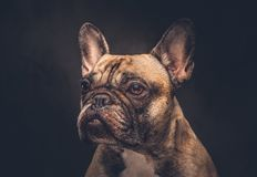 Funny face of a pug dog.  on a dark background. Stock Photo