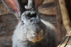 Clese up rabbit face and bokeh mode background. Funny face rabbit an the stall Royalty Free Stock Photography