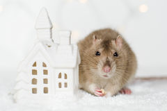 Funny face rat eating treats at Christmas scandinavian house can. Funny face rat sitting and eating treats at Christmas decorations of scandinavian house candle Royalty Free Stock Photo