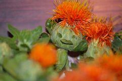 Funny face on a safflower blossom. Safflower Carthamus tinctorius seeds pressed for safflower oil, and once was used to make red-orange dyes, and food flavorings stock photo