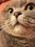 Funny face of scottish fold cat with big orange eyes Stock Photo