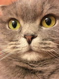 Funny face of scottish fold cat with big orange eyes. Stock Photography