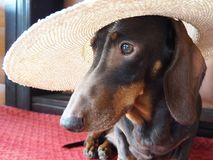 Funny face of a small dog in a straw hat stock photo