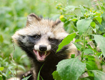 Funny face of smiling raccoon dog Royalty Free Stock Photo