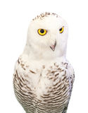 Funny face of snowy owl isolated white background Stock Photography