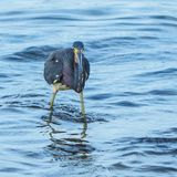 Funny Face Tricolored Heron Royalty Free Stock Photo