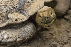 Funny face turtle Stock Photos