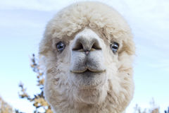 Funny Face White Alpaca Close Up. Close up of the funny face of a white blue eyed alpaca (Vicugna pacos royalty free stock photos