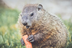 Funny Face Young Groundhog Royalty Free Stock Photos