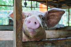Funny face of young pig. In the rural pigsty stock photo
