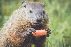Funny Faced Woodchuck with mouth closed Royalty Free Stock Image