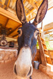 Funny Farm Donkey with Long Ears. And big nose, Crete Royalty Free Stock Photos