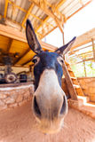 Funny Farm Donkey with Long Ears. And big nose, Crete Stock Images