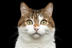 Funny fat cat on isolated black background royalty free stock photo