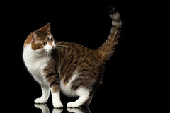 Free Funny Fat Cat On Isolated Black Background Royalty Free Stock Photography - 82785277