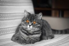 Funny fat Scottish straight cat lying on the couch. A beautiful grey black striped cat is resting. Scottish straight cat stock photos