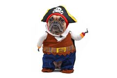 Funny French Bulldog dog dressed up with pirate Halloween fully body costume with hat and fake hook arm on white background