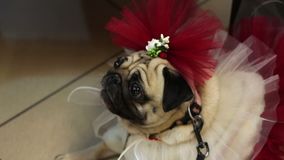 Funny fawn pug in fancy dress and accessories, dog's fashion, canine clothing
