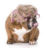 Funny female dog Royalty Free Stock Image