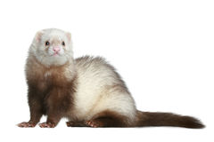 Funny ferret stock photo