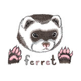 Funny ferret Royalty Free Stock Photography