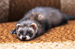 Funny ferret lying on bed Royalty Free Stock Images
