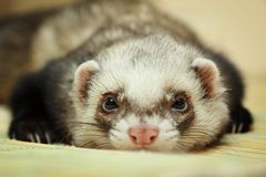 Funny Ferret On Bamboo Mat Stock Images