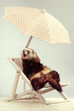 Funny ferret portrait on beach chair in studio. Ferret portrait on beach chair in studio Royalty Free Stock Photography
