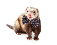 Funny Ferret Wearing Bow Tie royalty free stock image