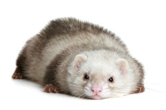 Funny ferret on a white background Stock Photo
