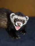 Funny ferret is yawning. Funny ferret (Mustela putorius furo) is yawning with open mouth, closeup portrait Stock Photo