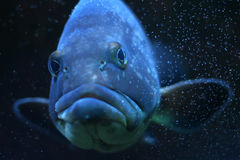 Funny fish Stock Photography