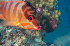 Funny fish close-up portrait. Tropical coral reef scene. Underwa Royalty Free Stock Photo