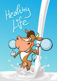 Funny fitness cow lift weights  standing in milk splash cartoon - design vector Royalty Free Stock Images