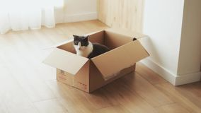 Funny fluffy cat with black and white wool sits in a box and looks around, charming cute pet plays in a room with light