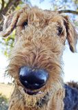 Funny fluffy dog selfie phone wallpaper background. A very funny self portrait or selfie that actually looks like the Airedale Terrier pictured has taken it royalty free stock photography