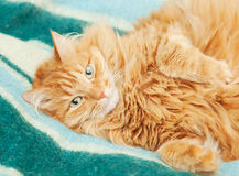 Funny fluffy ginger cat lying Stock Image