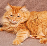 Funny fluffy ginger cat lying Royalty Free Stock Images
