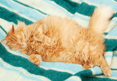 Funny fluffy ginger cat sleeping Royalty Free Stock Photo