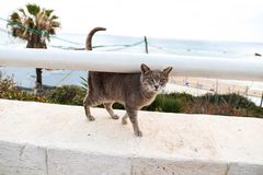 A funny fluffy grey cat walking along stone step stock photography
