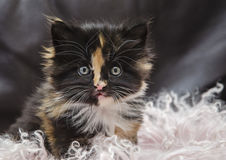 Funny Fluffy Kitty Portrait Stock Images