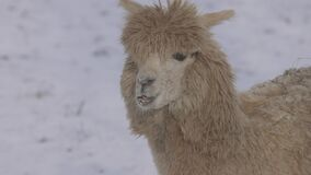 Funny fluffy Llama in winter. Llama on the background of snow, close-up. 4K slow motion, ProRes 422, ungraded C-LOG 10