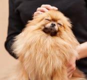 Funny fluffy Pomeranian Royalty Free Stock Images