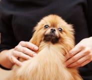 Funny fluffy Pomeranian Royalty Free Stock Image